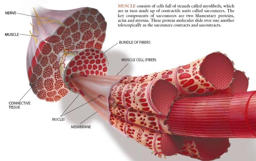ČLANEK: Kaj je musklfiber in kako nastane? 2